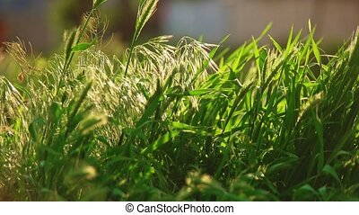 Stipa grass moving slowly on wind or breeze slow-motion pan...