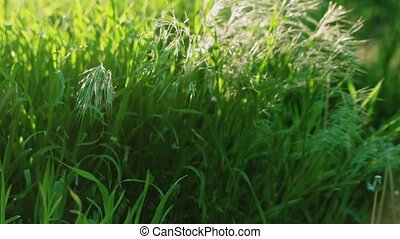 Stipa grass on wind tilt shot slow motion