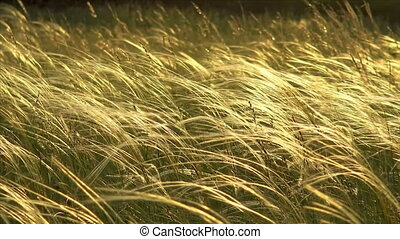 Stipa plants in the sunset light on the meadow