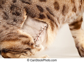 Stitched wound on bengal cat - Close up of the stitches...
