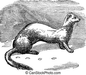 Stoat (Mustela erminea) or Ermine in winter pelt vintage...