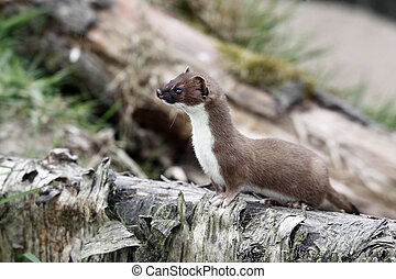 Stoat, Mustela erminea, single mammal in grass, captive, May...