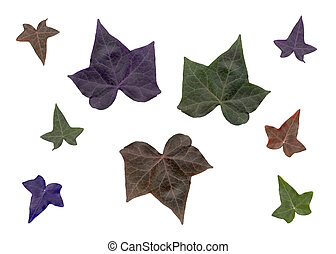 Stock Image of Ivy leaves