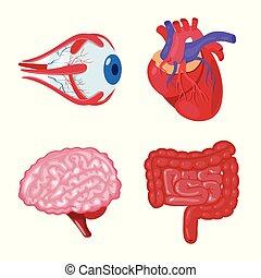 stock., organ, läkar illustration, anatomi, vektor, ...
