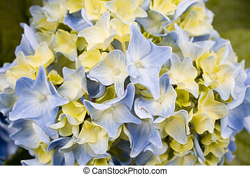 Stock Photo Blue and Green Hydrangea Flower