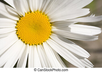 Stock Photo of a Shasta Daisy - Photo of a Shasta Daisy shot...