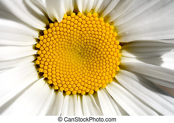 Stock Photo of One Shasta Daisy - Photo of a Shasta Daisy