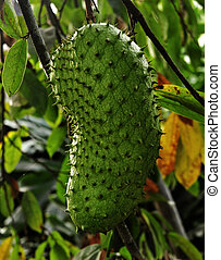 Stock Photo - Soursop Fruit - Soursop fruit can kill cancer.