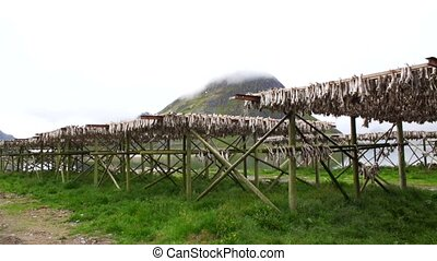 Stockfish on the lofoten (norway)