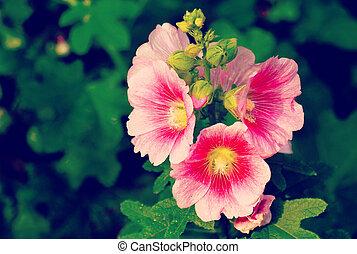stockros, blomma, gammal, årgång, retro designa