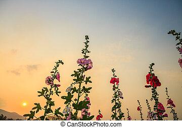 Stockros, blomma,  sky, Trädgård, solnedgång