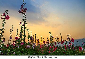 stockros, blommaträdgård, med, solnedgångsky