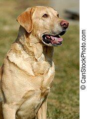 Stoic Labrador