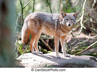 stojí, pohled, kamera, animální, balvan, divoký, kojot