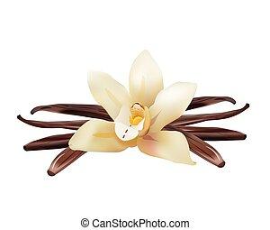 stokken ., bloem, vanille, vrijstaand, illustratie, realistisch, vector, pictogram