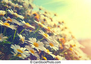 stokrotka, flowers., piękny, scena natury, z, rozkwiecony, chamomiles
