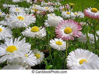 stokrotka, kwiaty
