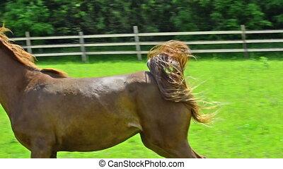 stolz, arabisches pferd, stute