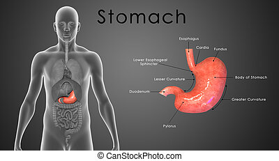 Stomach Layers - The stomach is a muscular, hollow, dilated ...