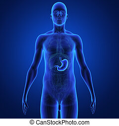 The stomach is a muscular, hollow, dilated part of the digestion system which functions as an important organ of the digestive tract in some animals, including vertebrates, echinoderms, insects (mid-gut), and molluscs. It is involved in the second phase of digestion, following mastication (chewing).