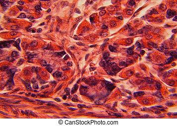 Mammalian stomach wall tissue under a microscope