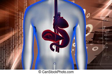 stomaco, fegato, cuore