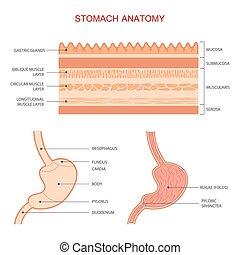 stomaco umano, anatomia