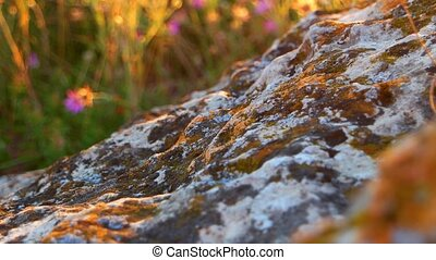 Stone covered with lichen and defocused plants backlit by warm sunset light