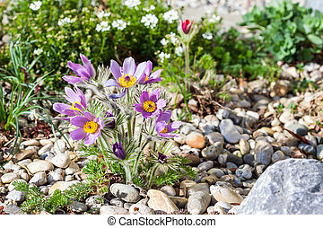 Stone garden with pasque flower