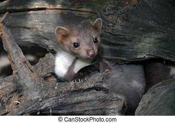 Stone marten (Martes foina) - A young stone marten cub