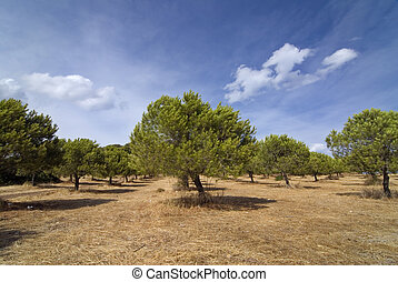 Stone pine grove in Greece with blue sky and clouds