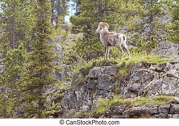 Stone Sheep ram Ovis dalli stonei