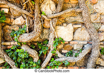 Stone Wall Covered With Climbing Roots