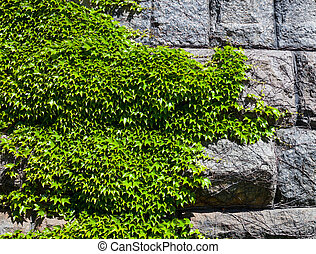 Stone wall covered with the green ivy