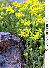 stonecrop, stonecrop), sedum, (goldmoss, 黄色, エーカー, かむこと