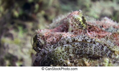 Stonefish Bearded scorpionfish scorpaenopsis barbata very...