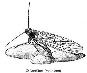 Stonefly adult on rocks Birchside Studios Pen-and-Ink...