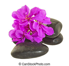 Stones and flower - Pink geranium laying over black stones,...