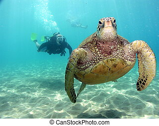 Stop following me - Green sea turtle and diver on Maui dive