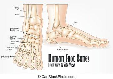 stopa, anatomia, kość, ludzki, przód, widok budynku
