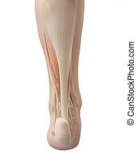 stopa, anatomie, svalnatý