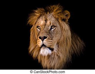 stor, afrikansk mandlig, løve