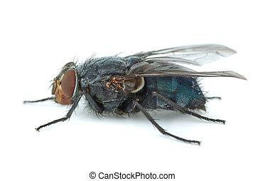 stor, blå, redhead, fluga, (calliphora, vicina)