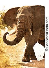 stor, elefant