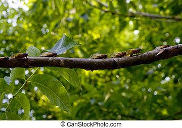 stor grupp, cikador, träd