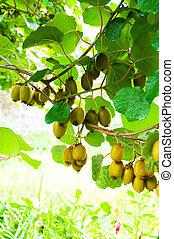 stor, klase, av, kiwi frukt, på, den, träd