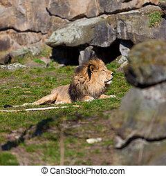 stor, manlig lejon, lägga på gräset