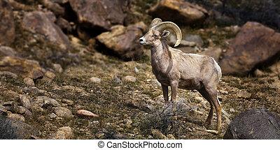 stor, singel, horn, ram., sheep.
