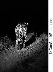 stor, stark, manlig, leopard, vandrande, natur, om natten, in, mörker, arti