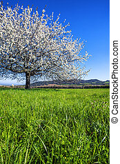 stor, vit, blomstrande, träd